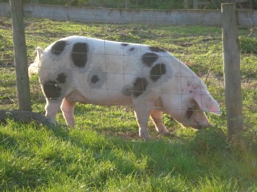 Five Things I'm Always Saying to a Pig