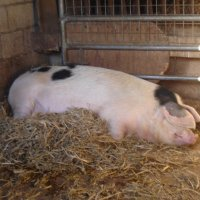 Edith Pig, heavily pregnant and in her nest