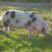 Portia Pig, a fine example of a Gloucester Old Spot sow