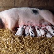 Estella Pig and her new family