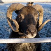 Magwitch Ram